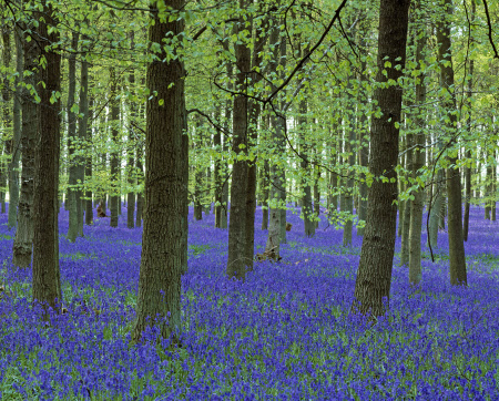 A colourful carpet of bluebells amongst the straight trunks of the trees in Dockey Wood on the Ashridge Estate, Hertfordshire